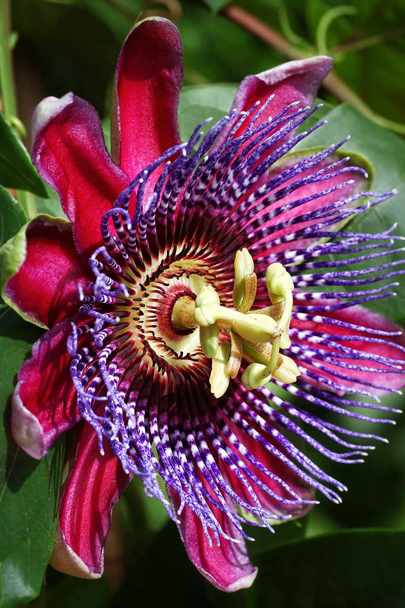 A vertical close up of a bright red Passiflora bloom with a purple center on a soft focus background.
