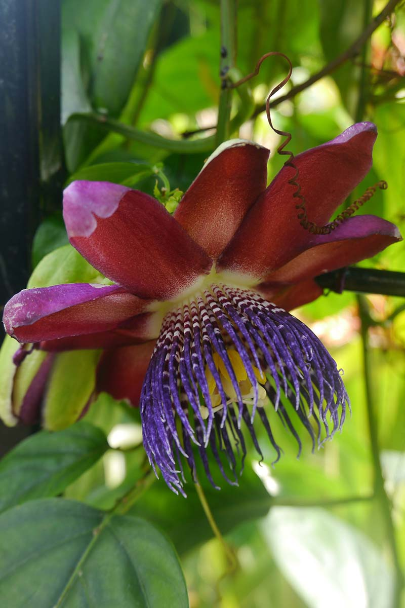 A close up vertical picture of a red passionflower with purple center, surrounded by green foliage in light sunshine, on a soft focus background.