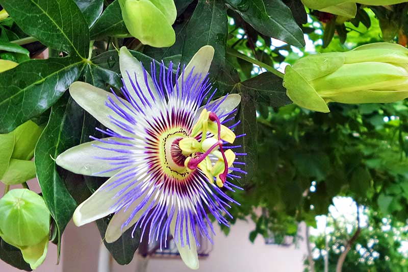 A close up of a passionflower growing on the vine with light colored petals and a blue, white, and red crown, surrounded by foliage, with a house in soft focus in the background.