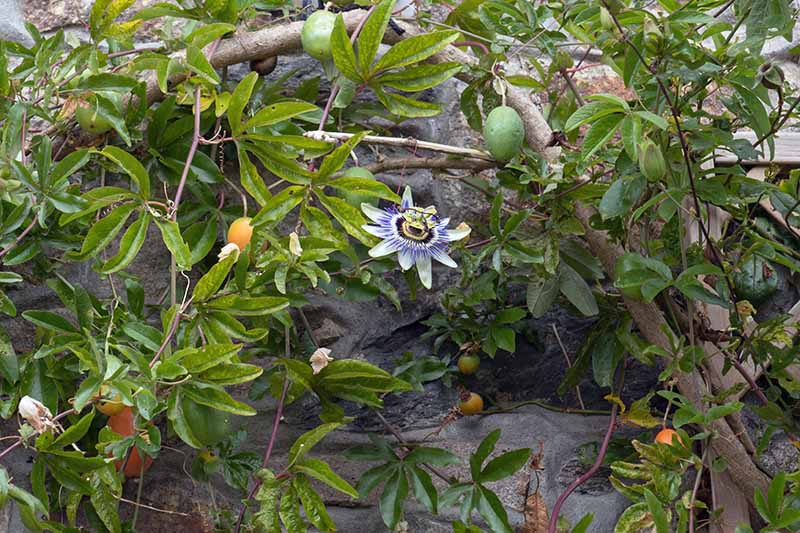 A Passiflora vine growing up the side of a stone house, with one bloom and fruits hanging from the plant.