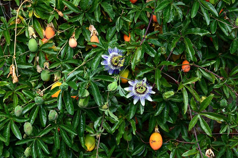 A Passiflora vine growing in the garden with blooms and fruits at various stages of ripeness surrounded by dark green foliage.