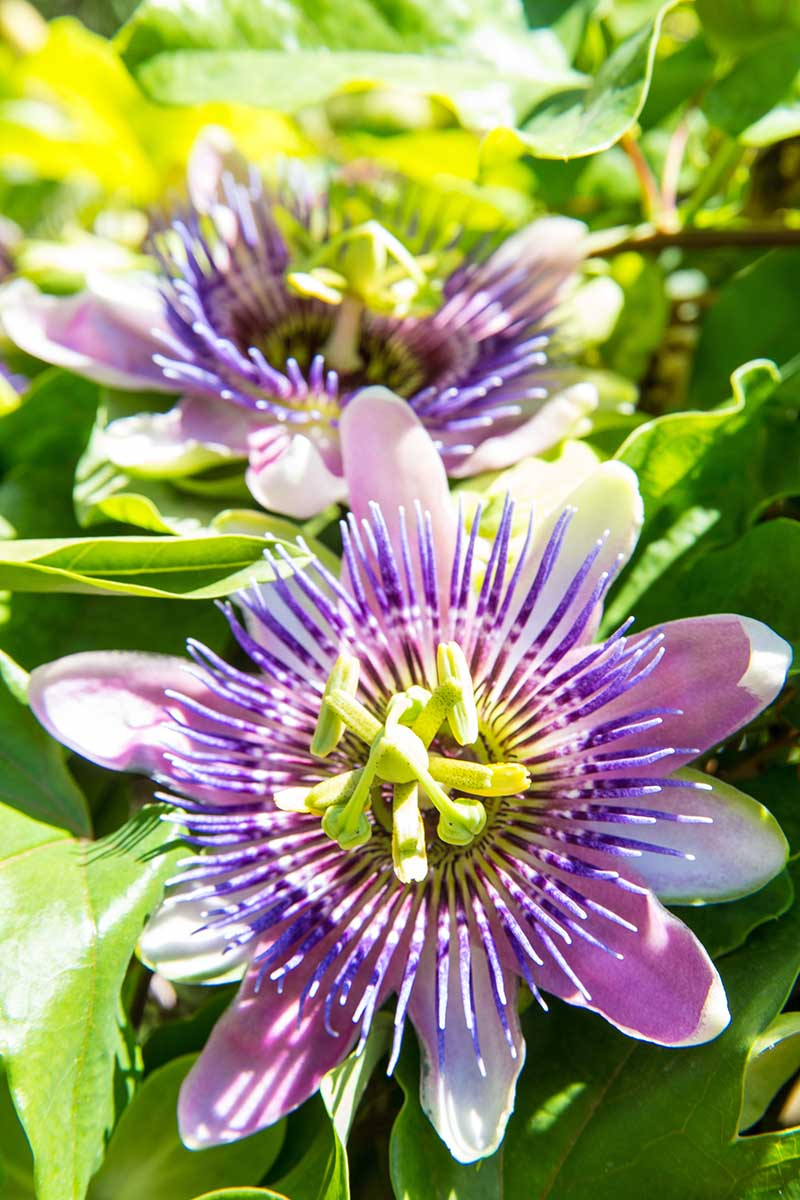 A vertical picture of light purple Passiflora flowers growing on the vine in bright sunshine fading to soft focus in the background.