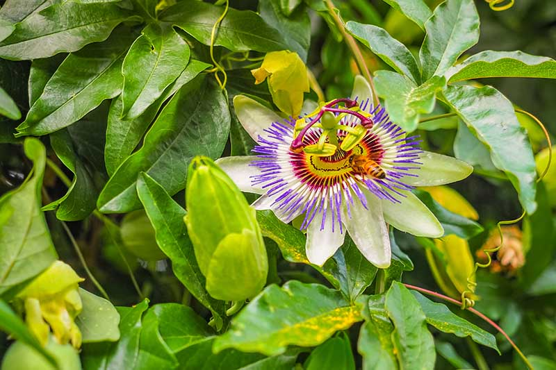 A close up of a Passiflora bloom with a bee feeding on the nectar, surrounded by green foliage in light sunshine.