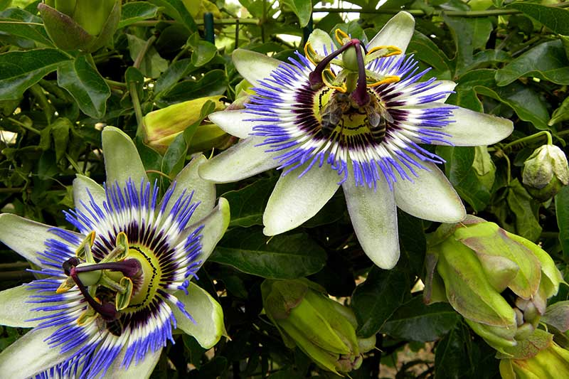 Two Passiflora blooms growing on the vine, fading to soft focus in the background.