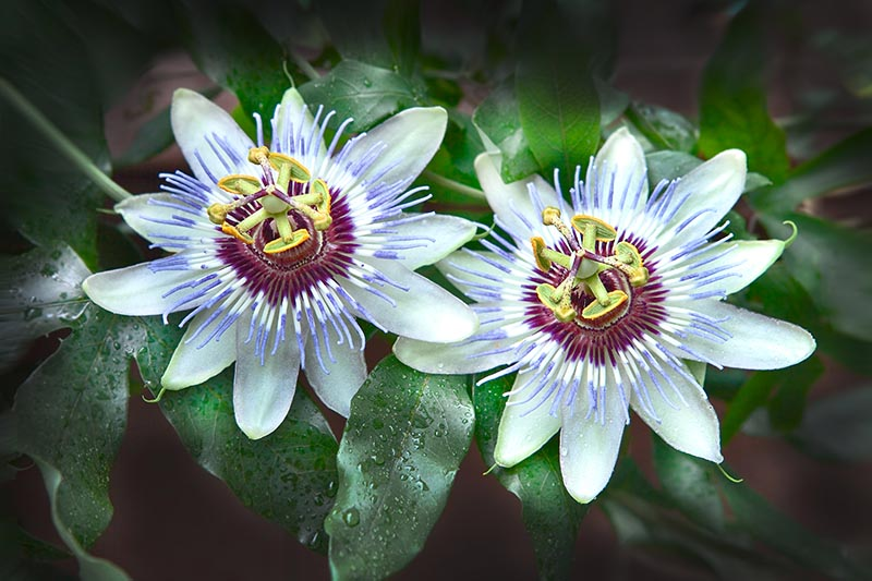 A close up of two passionflowers surrounded by foliage covered in water droplets on a dark soft focus background.