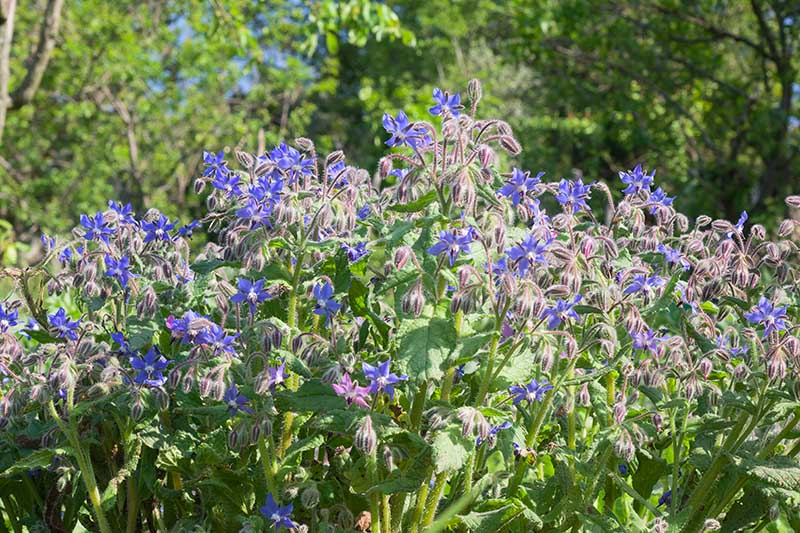 A close up of a patch of Borago officinalis growing in the garden with blue flowers contrasting with the green foliage, pictured in bright sunshine.
