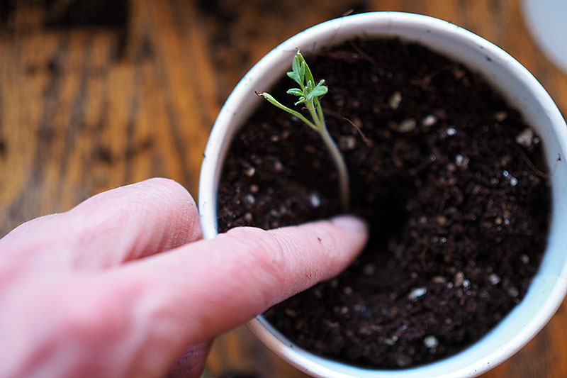 A hand from the left of the frame gently burying a seedling in a white container set on a wooden surface.