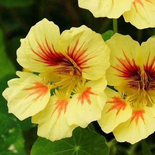 A close up of the yellow flowers of Tropaeolum 'Peach Melba,' with red throats, on a soft focus background.