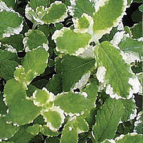 A close up of the variegated green leaves with white edges of the 'Pineapple' mint variety.