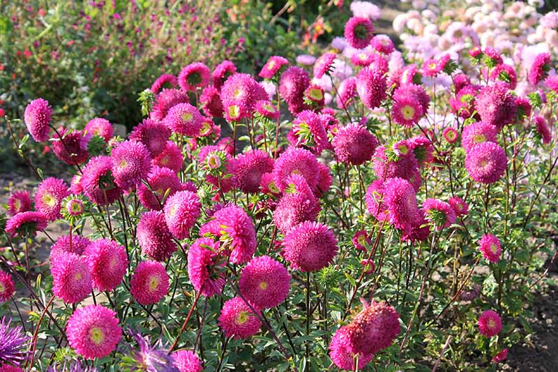 A close up of bright pink China asters growing in the garden pictured in bright sunshine.