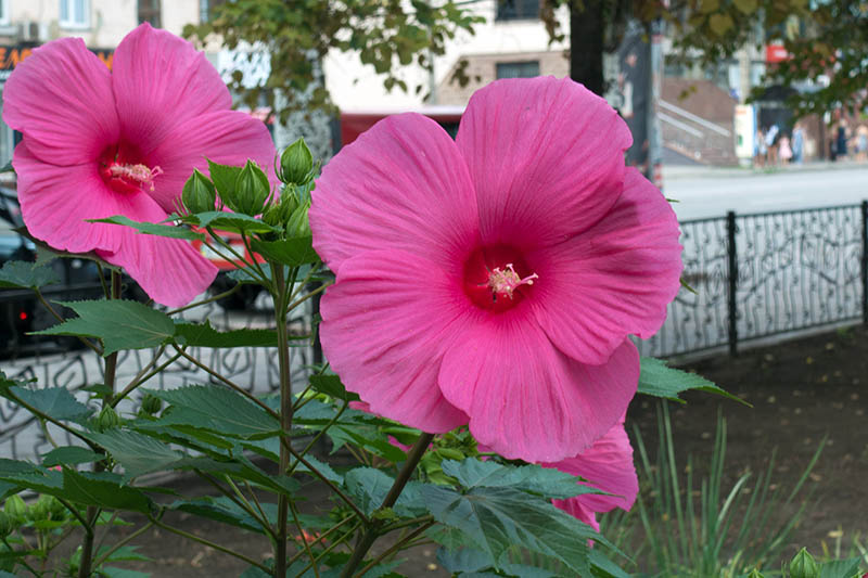 A close up of the large pink flowers of the H. moscheutos shrub, surrounded by foliage, with a street scene in soft focus in the background.