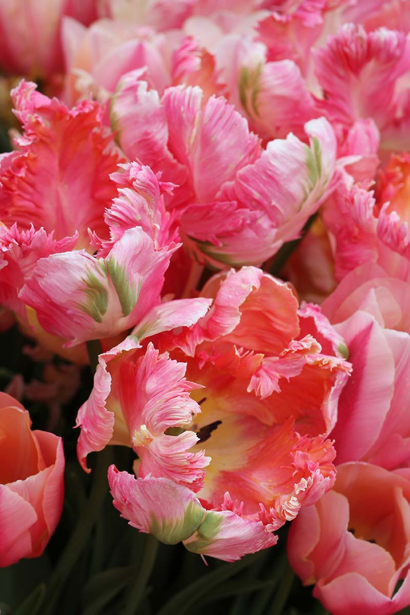 A vertical close up picture of the ruffled pink flowers of the parrot tulip on a soft focus background.