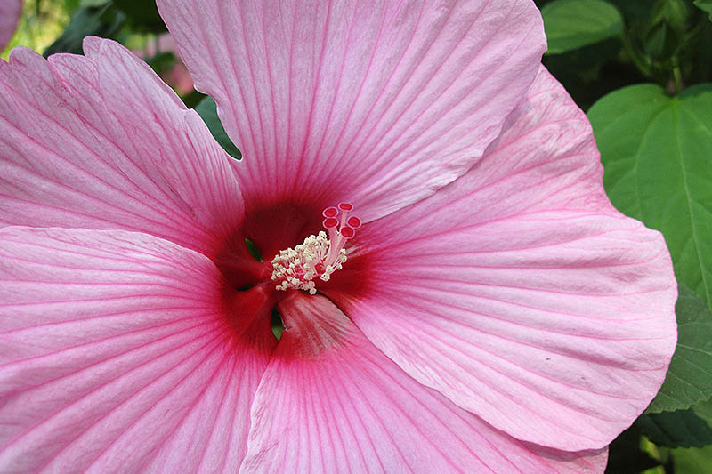 A close up of a large pink rose mallow with a deep red eye, growing in the garden with foliage in soft focus in the background.