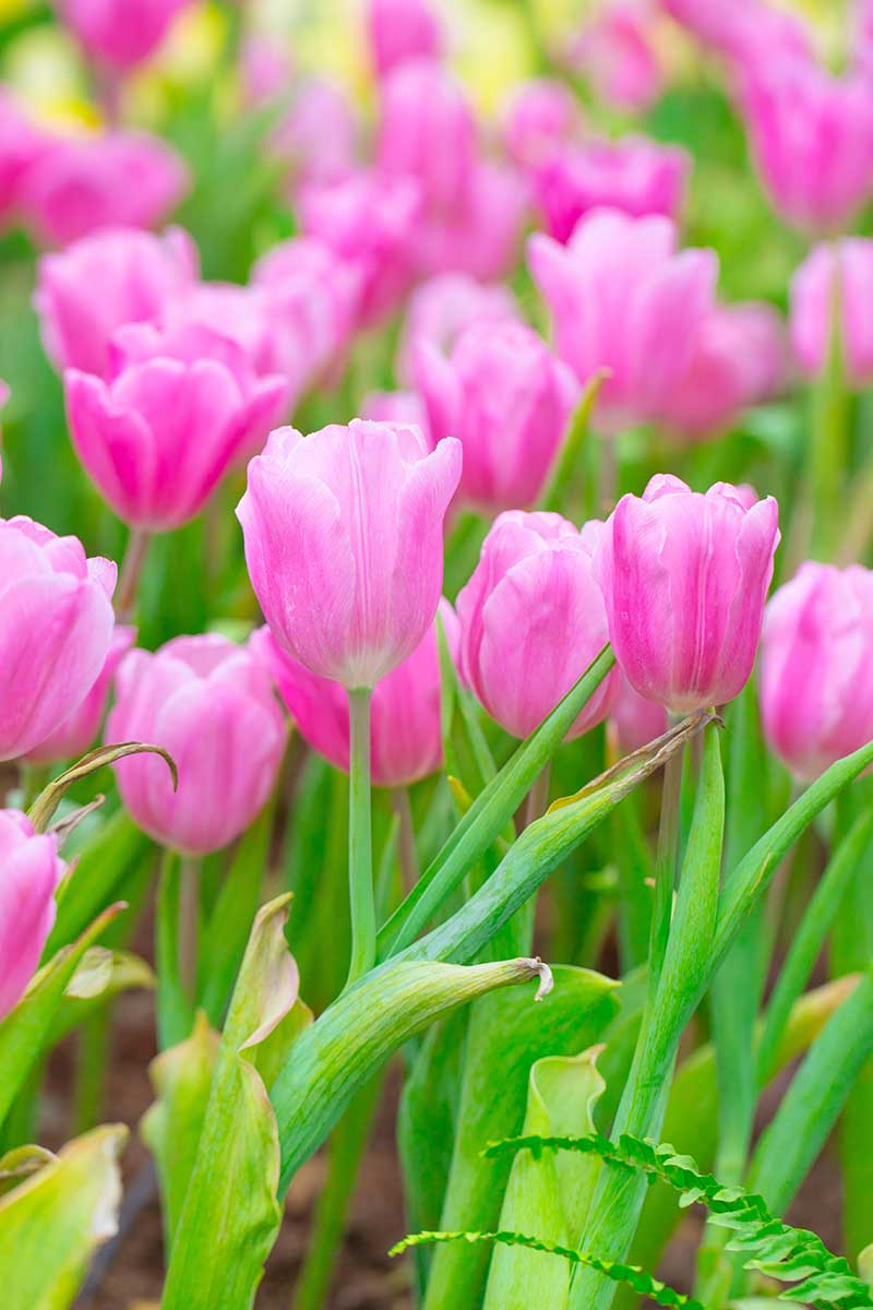 A vertical picture of delicate pink tulip flowers growing in the springtime with foliage that is starting to turn yellow at the edges.