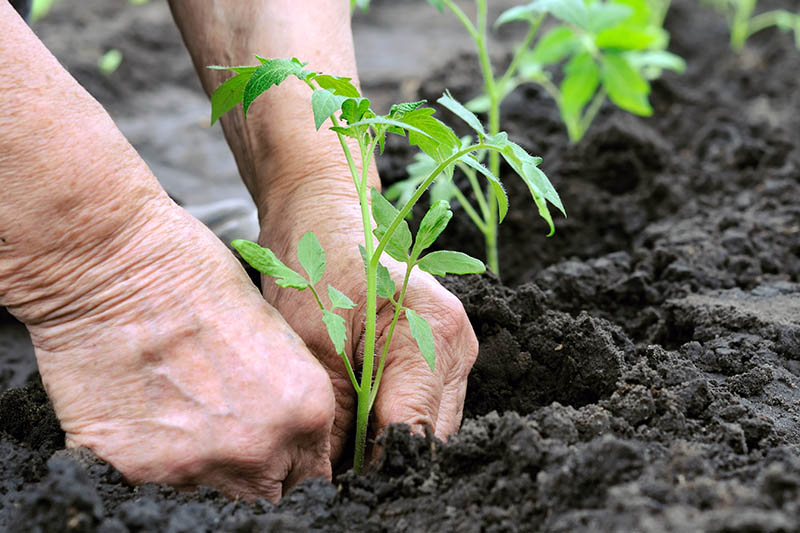 A close up of a pair of hands transplanting young plants into dark, rich soil in the garden on a soft focus background.