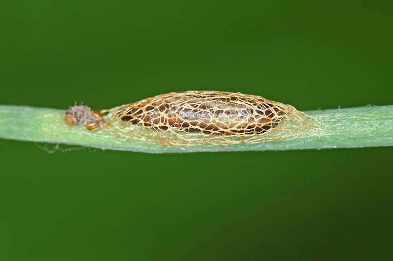 A close up of the pupae of an onion leafminer on a green stem, on a green, soft focus background.