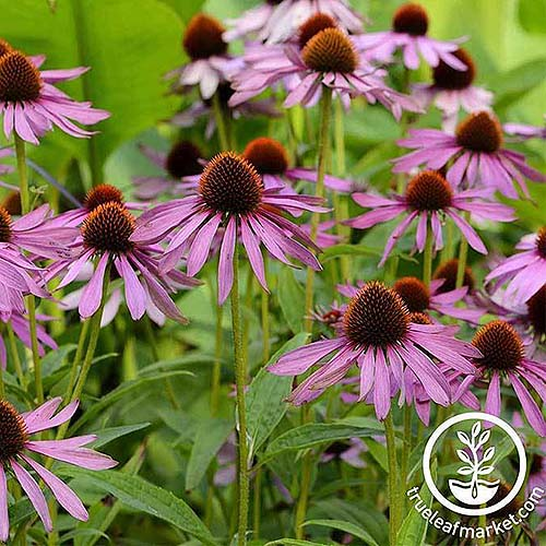 A close up of purple coneflowers growing in the garden on a soft focus background. To the bottom right of the frame is a white circular logo with text.