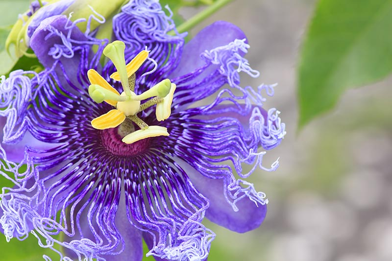 A close up detail of the purple passionflower with shades of purple detail and a light colored center on a soft focus background.