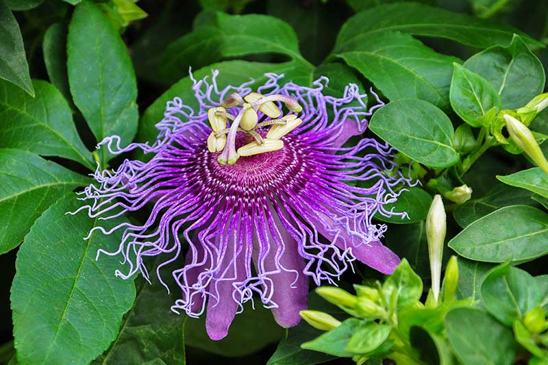 A close up of a purple Passiflora bloom with a light center surrounded by foliage on a dark soft focus background.
