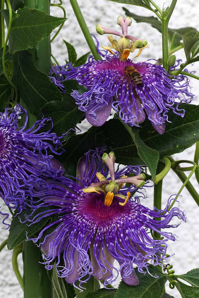 A vertical close up picture of purple Passiflora flowers surrounded by foliage with a white wall in the background.