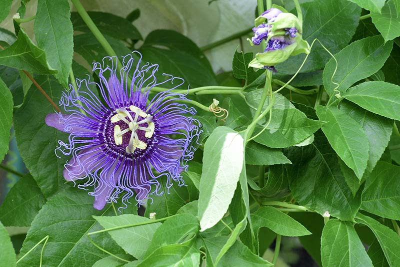 A close up of a purple passionflower growing on the vine in light sunshine on a soft focus background.