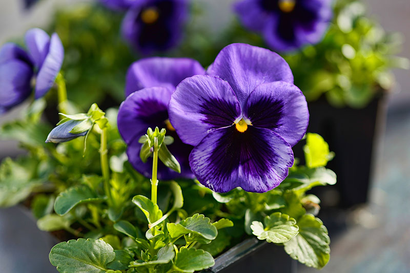 A close up of a blue flower with a dark purple center, growing in a container in bright sunshine on a soft focus background.