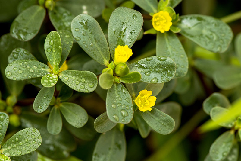 A close up of Portulaca oleracea growing in the garden with flat green leaves and small yellow flowers, on a soft focus background.