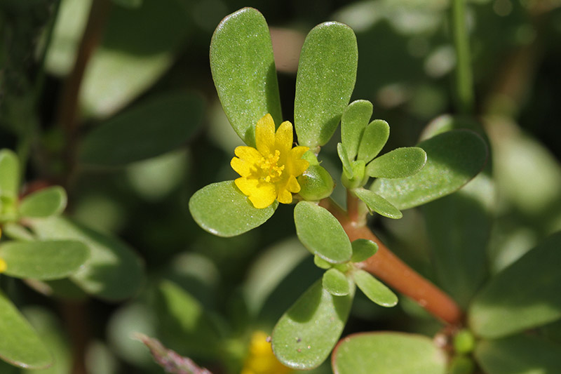 A close up picture of Portulaca oleracea with succulent green leaves and a small yellow flower bud, pictured in bright sunshine on a soft focus background.