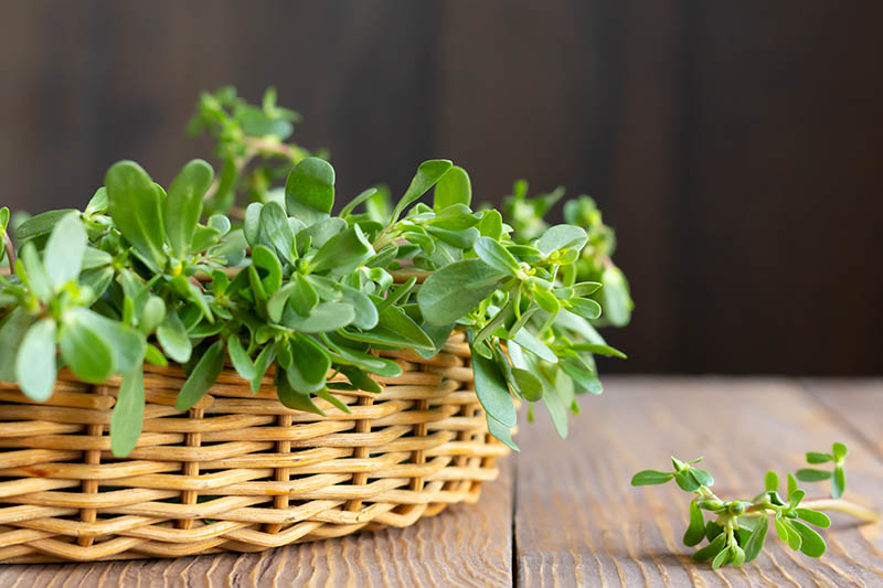A close up of a wicker basket containing a fresh harvest of Portulaca oleracea leaves, set on a wooden surface on a dark soft focus background.