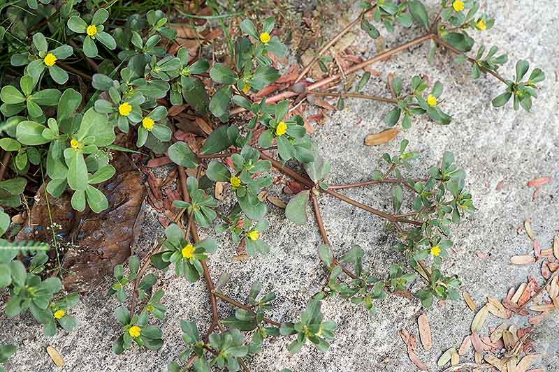 A close up of Portulaca oleracea growing wild on a concrete path, with light green leaves and small yellow flowers.