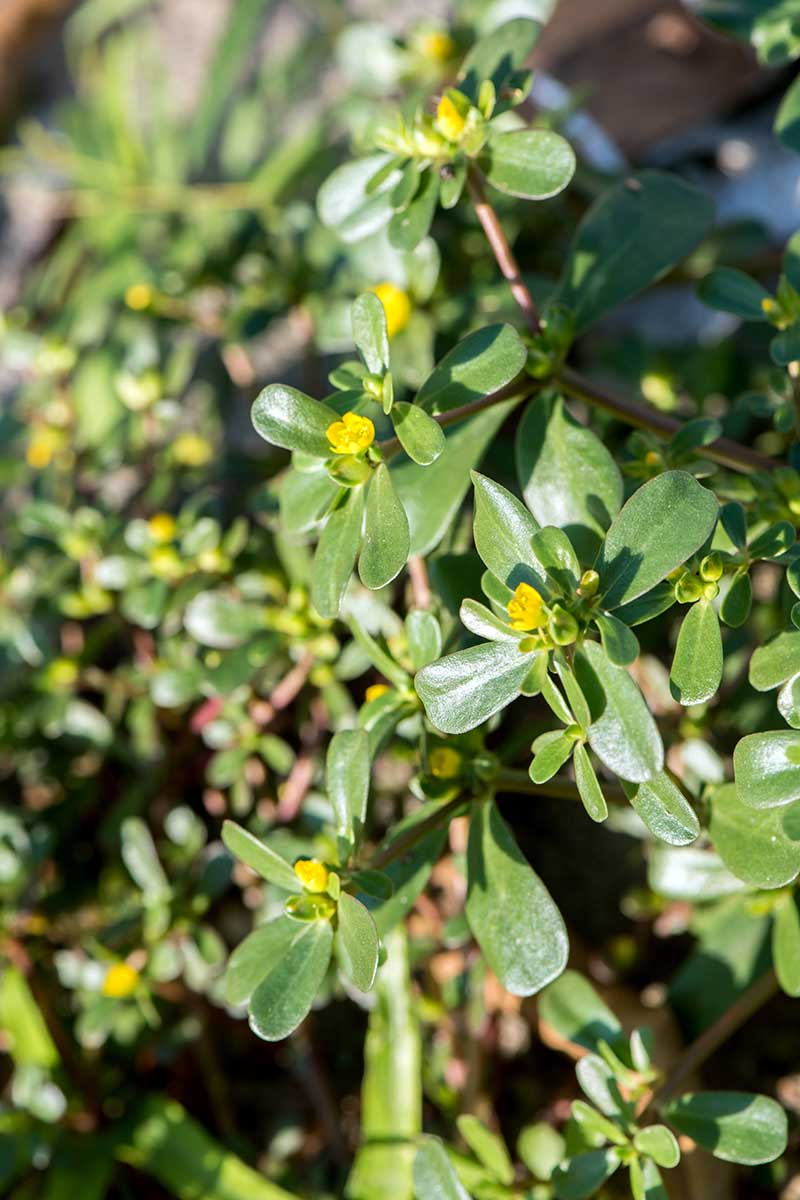 A vertical picture of a Portulaca oleracea plant growing in the garden with light green leaves and yellow flowers, in bright sunshine on a soft focus background.