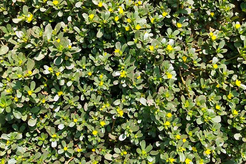 A close up of a large patch of Portulaca oleracea growing in the garden with small yellow flowers, pictured in bright sunshine.