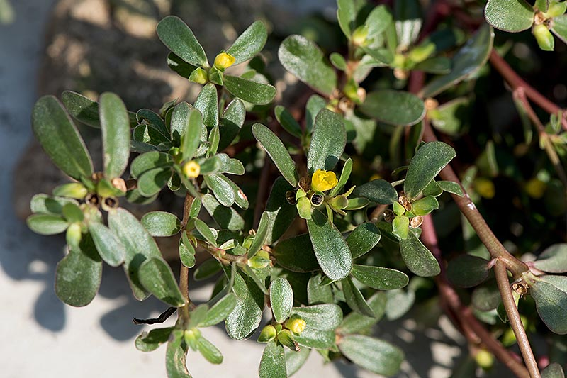 A close up of a Portaluca oleracea plant growing in the garden in bright sunshine with small yellow flowers just starting to emerge.