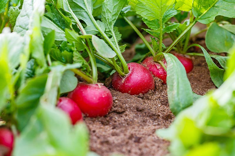A close up of red radishes growing in the garden with bright green foliage and soil visible around the roots.
