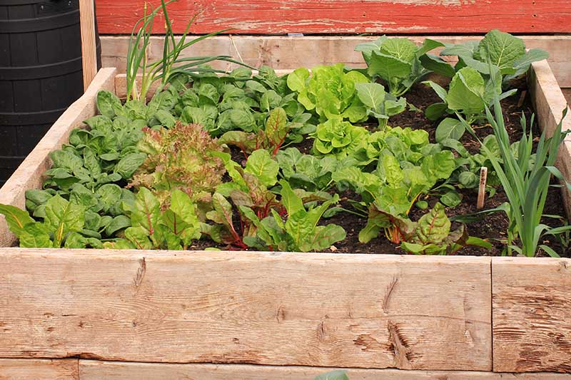A close up of a wooden raised garden bed planted with a variety of spring crops with a wooden fence in the background.