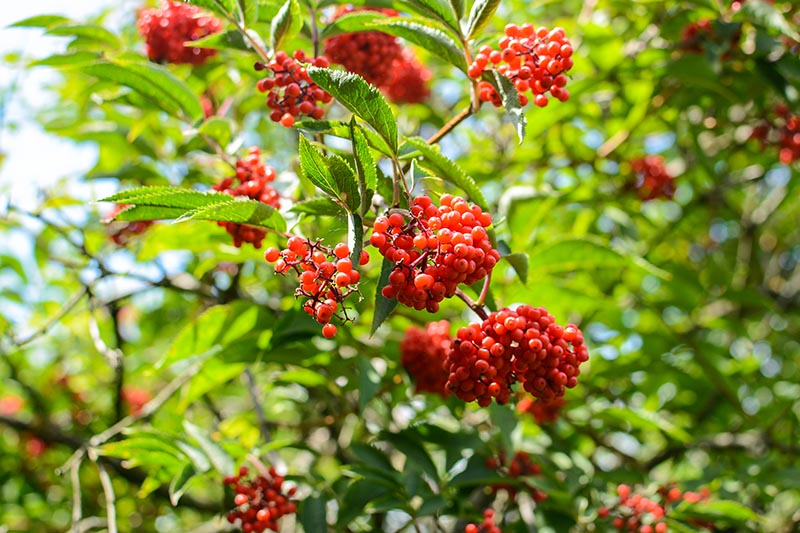 A close up of red elderberry fruits, pictured in bright sunshine, surrounded by green foliage, on a soft focus background.