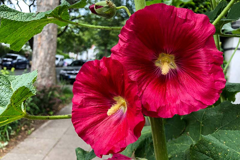 A close up of the red flowers of the hardy hibiscus with yellow centers, growing at the side of a path with cars and street scene in soft focus in the background.