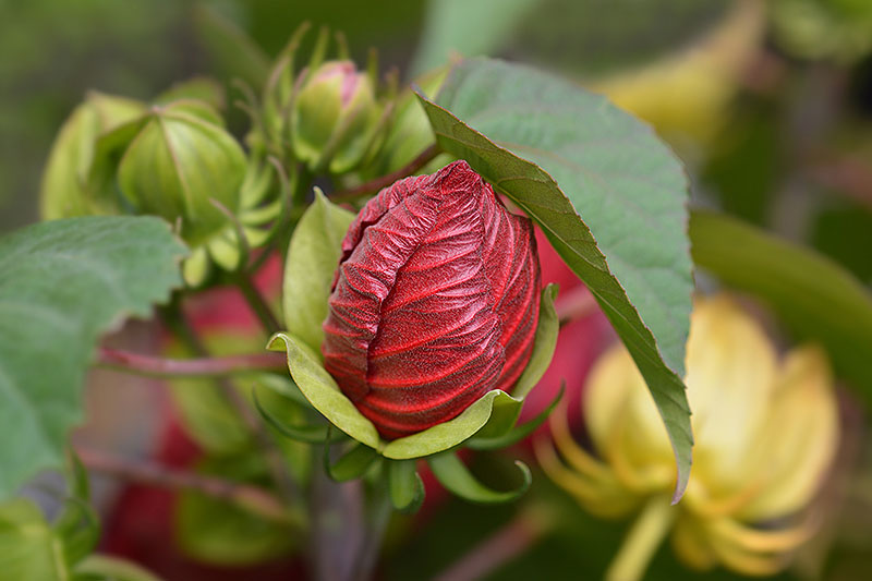 A close up of the flower bud of a red H. moscheutos growing in the garden, surrounded by foliage on a soft focus background.