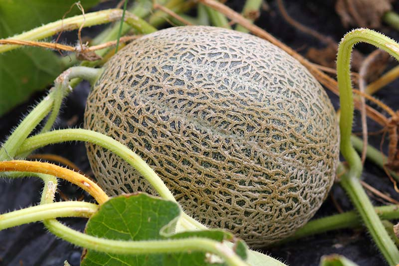 A ripe cantaloupe melon attached to the vine on the ground in the garden on a soft focus background.