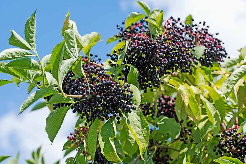 A close up of a mature elderberry plant, growing in a container with ripe, dark purple fruit hanging in clusters, pictured in bright sunshine with blue sky in the background.