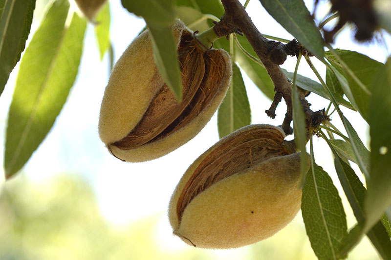 A close up of almonds with the hulls starting to split as they ripen, surrounded by foliage on a soft focus background.