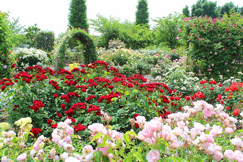 A garden scene with red and pink blooms in the foreground, and an arched pergola covered in climbing roses, with trees in soft focus in the background.