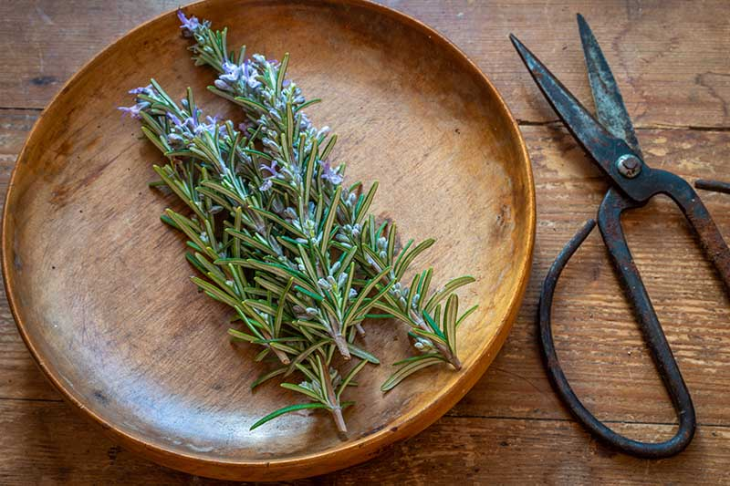 A top down close up picture of fresh rosemary on a wooden plate set on a wooden surface with a pair of old fashioned scissors to the right of the frame.