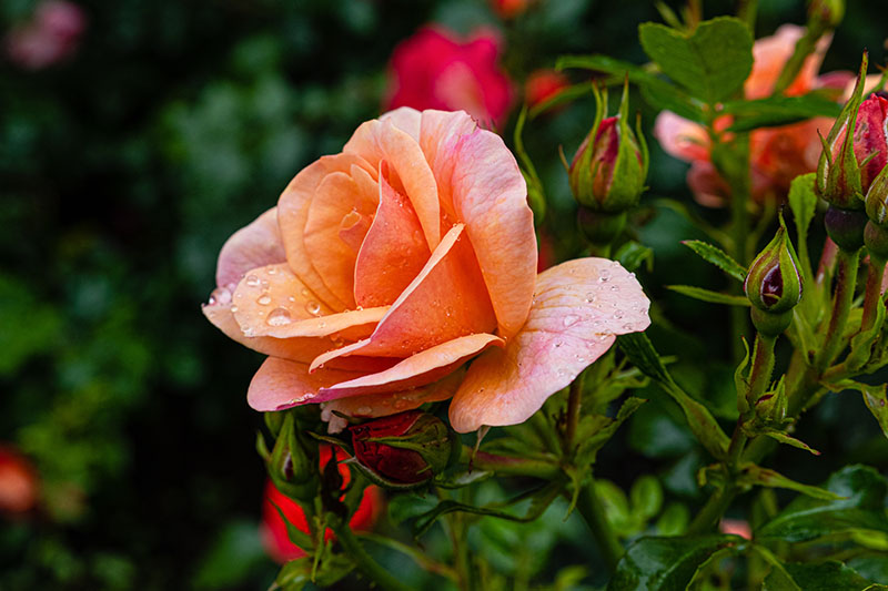 A close up of a peach colored rose growing in the garden with water droplets on the petals and bright green foliage, pictured on a soft focus background.