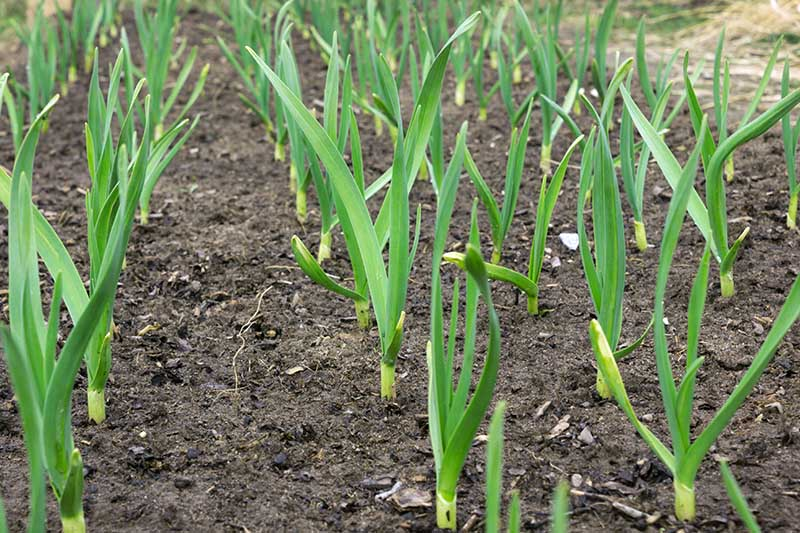 A close up of rows of Allium sativum growing in rows in the garden in rich soil.