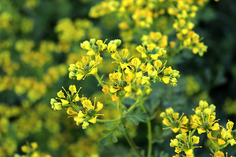 A close up of rue growing in the garden with tiny yellow flowers on long stalks, on a soft focus green background.