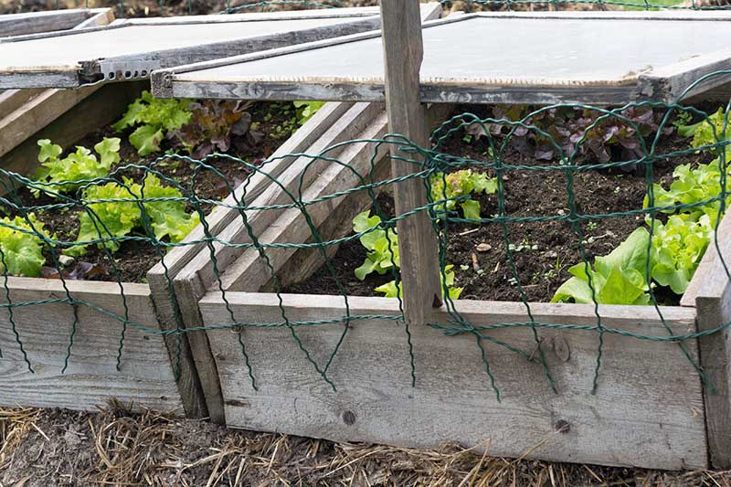 A close up of an outdoor wooden cold frame containing salad greens.