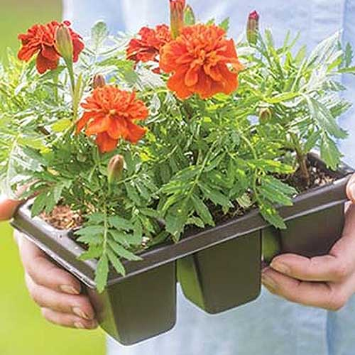 A close up of two hands holding black plastic seedling trays containing flowering plants.