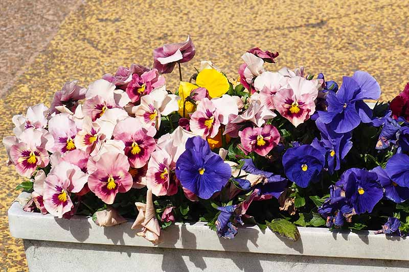 A close up of a container of brightly colored pink and blue pansies, set on a stone surface in bright sunshine.