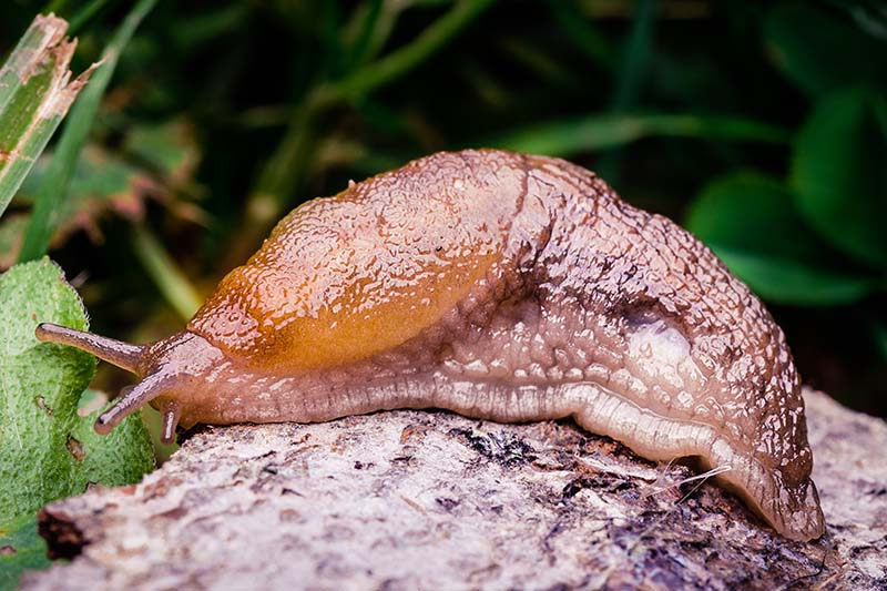 A close up of a slug in the garden on a soft focus background.